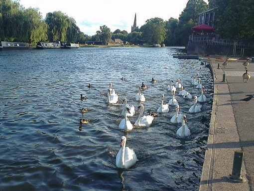 Swans on the River Avon at Stratford