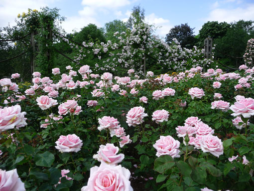 Roses in Regents Park London